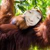 Orang-outan (Prod. Trvpyyy)