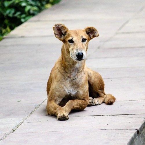 Obeying 'His Master's Voice'—How Do Stray Dogs Understand Us And Respond?