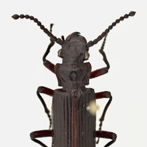 Meet The Vampire-Like Beetles That Prey On Ants
