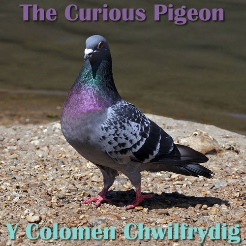 The Curious Pigeon / Y Colomen Chwilfrydig