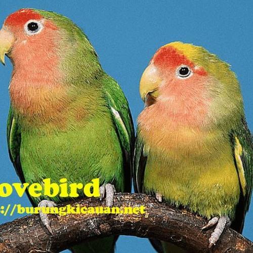 Suara Lovebird Juara Burungkicauan Net By Burungkicauan Net On Soundcloud Hear The World S Sounds