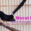 (burungkicauan.net) MASTERAN MURAI BATU JAWARA MATERI CILILIN, KAPAS TEMBAK, TENGKEK BUTO