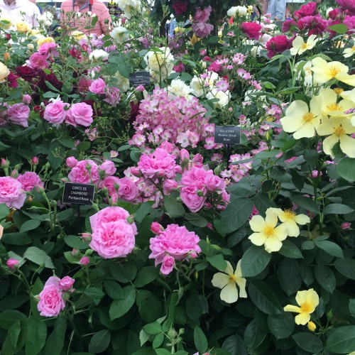 Dig It: Rose Breeder David Austin (25 February 2019)