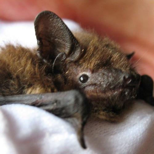 MERLin The Bat