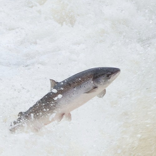 ASF's Steve Sutton and others on state of NL salmon