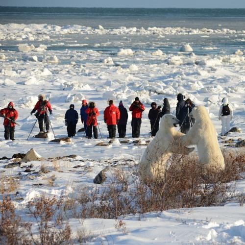 Walks With Polar Bears Vanessa Desorcy Churchill Wild Manitoba -Graeme Kemlo