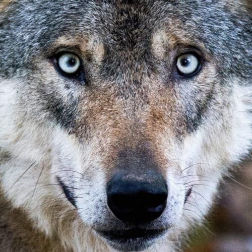 Der Wolf In Uns