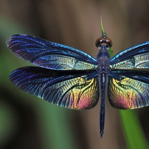 Dragonflies for Saxophone Quartet, excerpt(2019)
