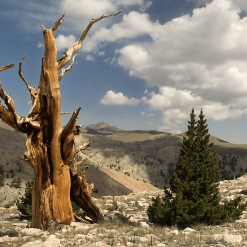 How Will These Long-Lived Trees Adapt To Climate Change?