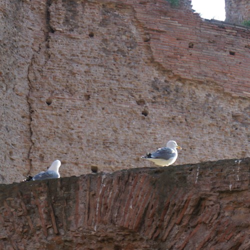 Laughing Gulls at the Baths of Caracalla