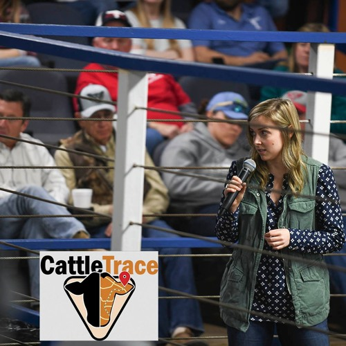 Cattle Trace at Kingsville Livestock Auction