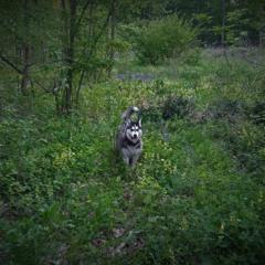 Asi (Siberian Husky)