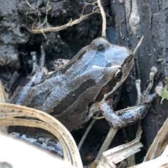 Pacific Northwest Chorus of Frogs