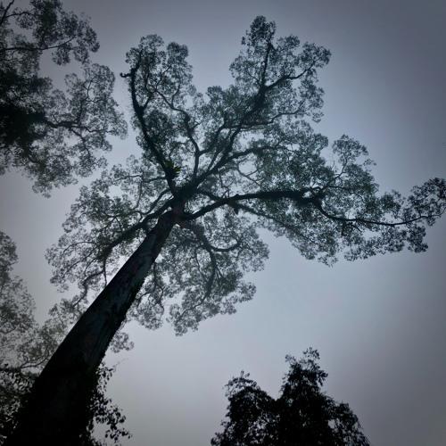Dawn chorus in the Danum Valley (Borneo)