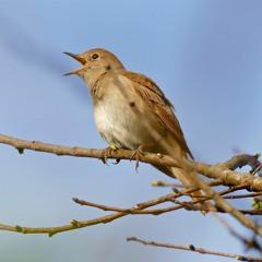 Common Nightingale And Great Tit At Dawn - Étang Salé De Courthézon, France