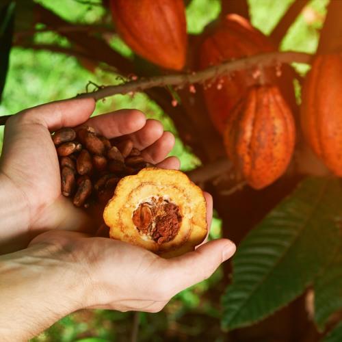 Programa Cacao De Costa Rica Ayer, Hoy Y Mañana Mayo 02 2019