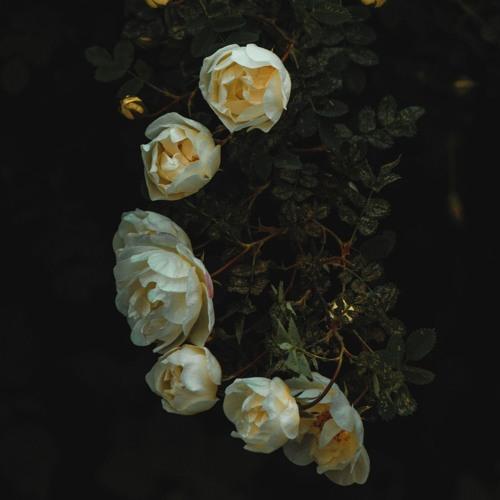 Seraphim Rytm - White Doves