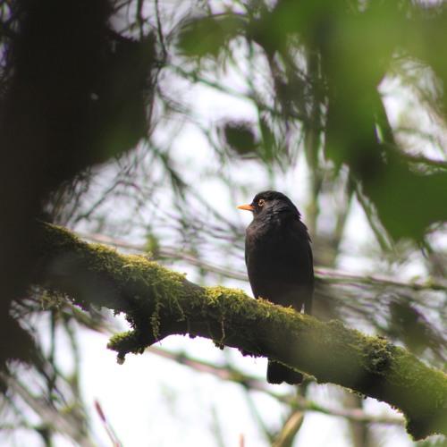 Blackbird (no drums or bass demo)