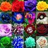 Edward MacDowell- To A Wild Rose (Original Lyrics By Tam-Chan, Cover By Yuki, DIVA, Luka, Et Al.)