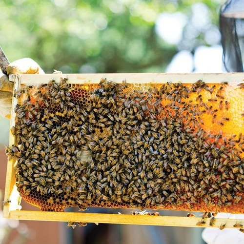 Honey Bees:  a conversation with bee keeper Vincent Kaye