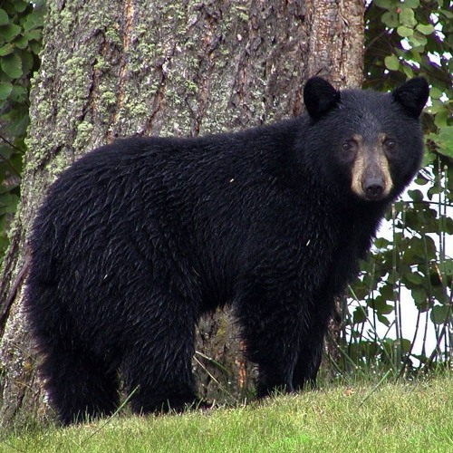 A Bear Scare at Camp