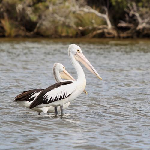 River Tales - P for Pelicans