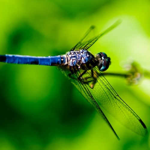 Dragonfly Dreams - orchestral version