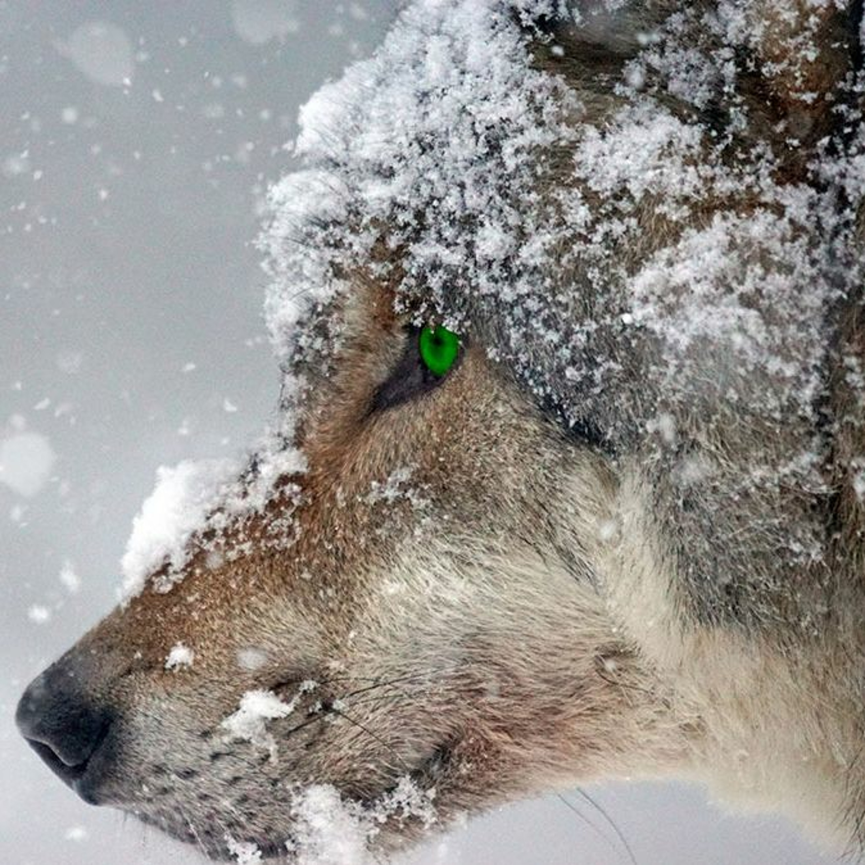 Why Must We Beware Wolves in Sheep's...