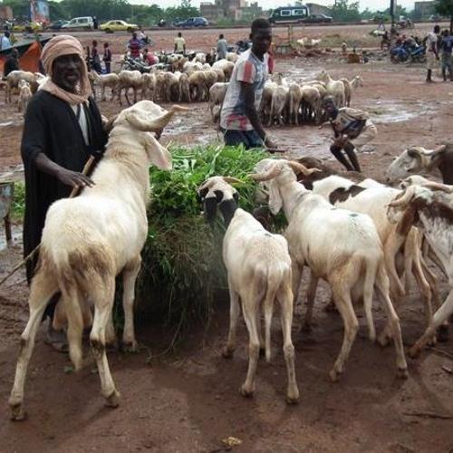Fête de Tabaski : quand le prix du mouton flambe à Bamako