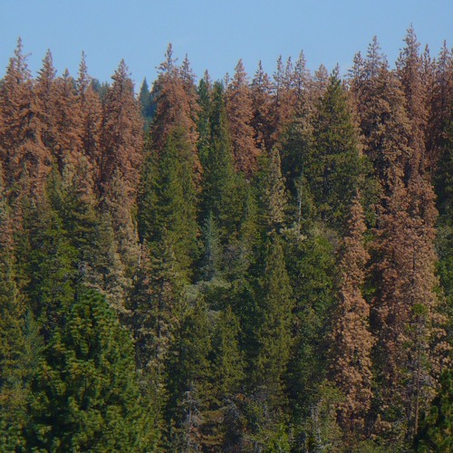 Drought Impacts, Warmer Climate Leave Sierra Forests Primed For Wildfires
