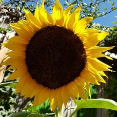 Sunflowers.mp3
