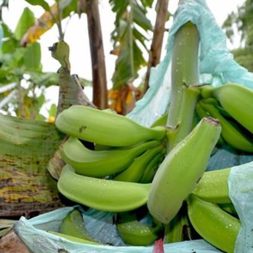 Reactivación de la mesa de la bolsa de plátano contribuirá a que este material sea reciclable