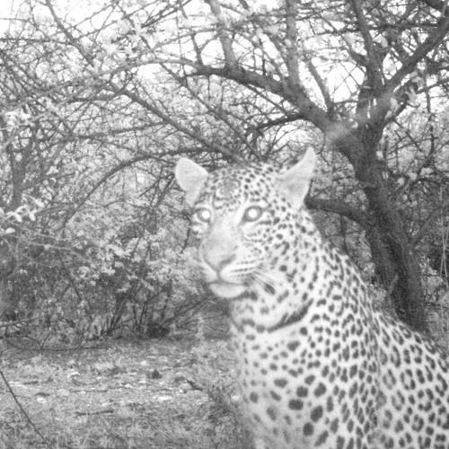 Alarm Calls: A Leopard Approaches - Overnight at Mmabolela Reserve, SA Song