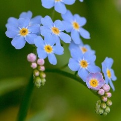 The Forget-me-not Lament