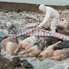 La Peste porcine africaine se propage aux Philippines