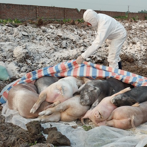 FAO Podcast TZH 50 – African Swine Fever spreads to the Philippines
