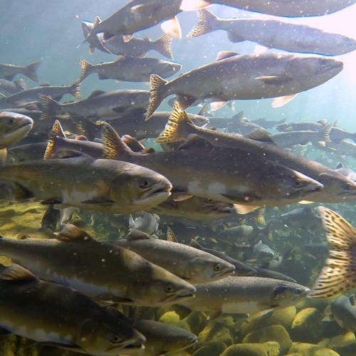 Round Valley Indian Tribes' Salmon Awareness Festival this Weekend