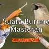 Audio suara burung love bird ngekek panjang (Download Audio)