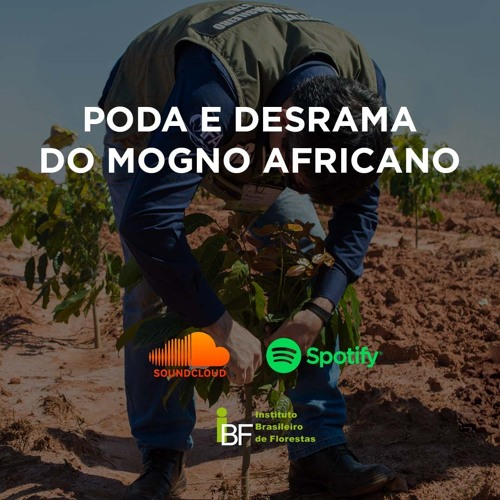 Podcast - Poda e Desrama do Mogno Africano