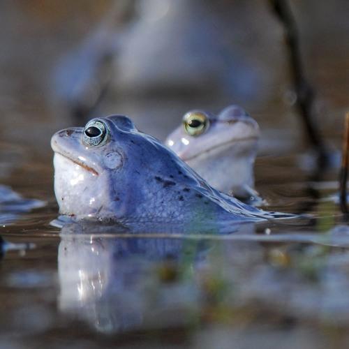 ŻABA MOCZAROWA Rana Arvalis Moor Frog