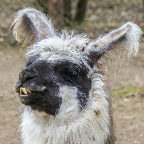 Tout plaquer et partir élever des lamas