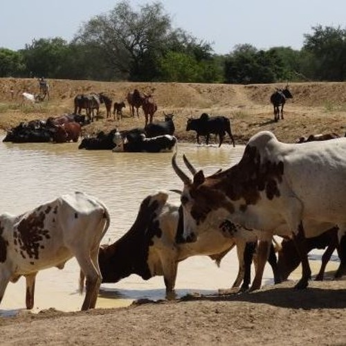 """Burkina: """"Les zones pastorales ont diminué avec l'insécurité"""" (Ahmadou Dicko)"""