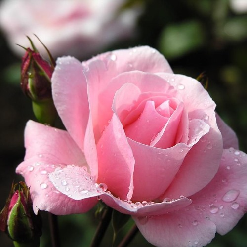 Beauty in a Rose Performed by Christopher Dallo
