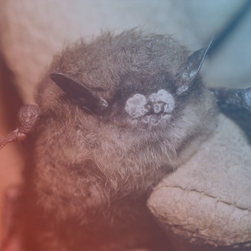 Over A Decade later, North Eastern Bat Populations Have Yet To Recover From White-Nose Syndrome