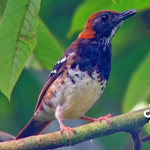 Suara Burung Anis Kembang Suara Master By Suara Master On Soundcloud Hear The World S Sounds