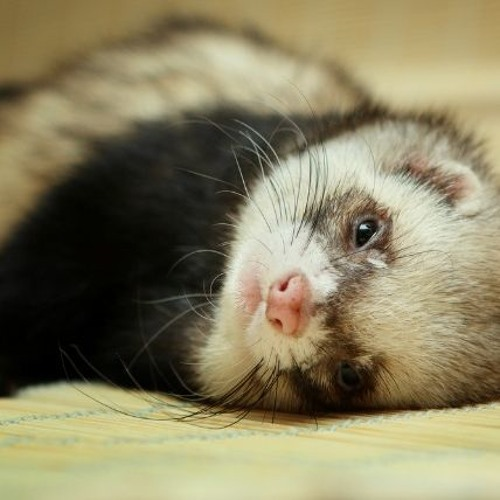 Ferret Fiasco