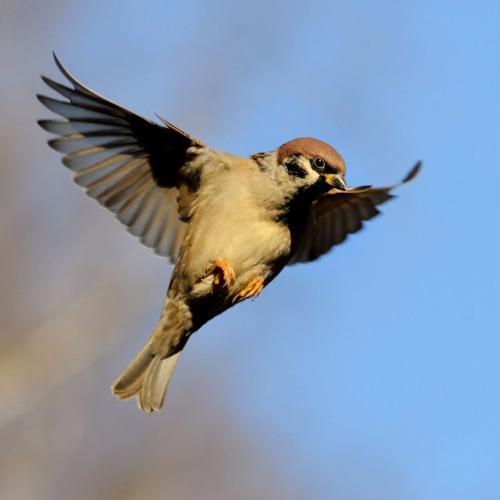 Sparrows' Anthem - SATB Choir & Oboe