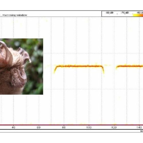 Rhinolophus ferrumequinum, 08/08/2019, Lazio RM VFerri