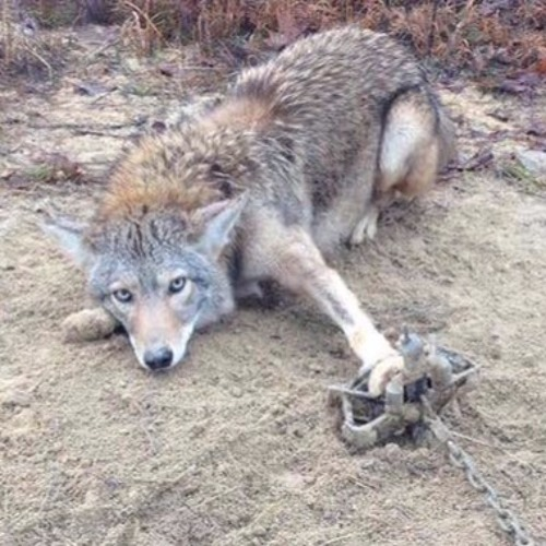 Mendocino rejects nonlethal wildlife management and approves program to kill cougar, bear, and more