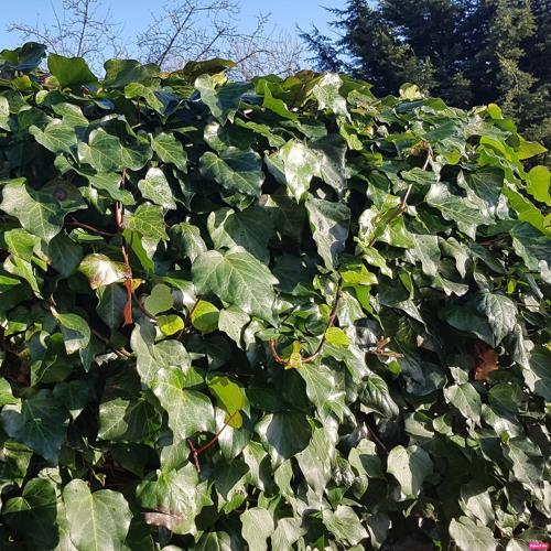 Grow A Little Ivy